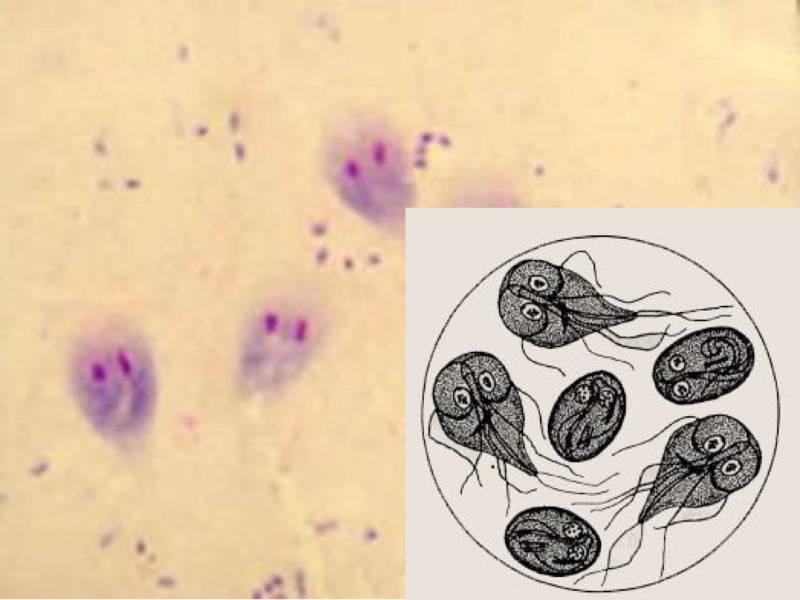 Протозойные инфекционные заболевания животных: возбудители кишечных инфекций, лечение и профилактика инвазий