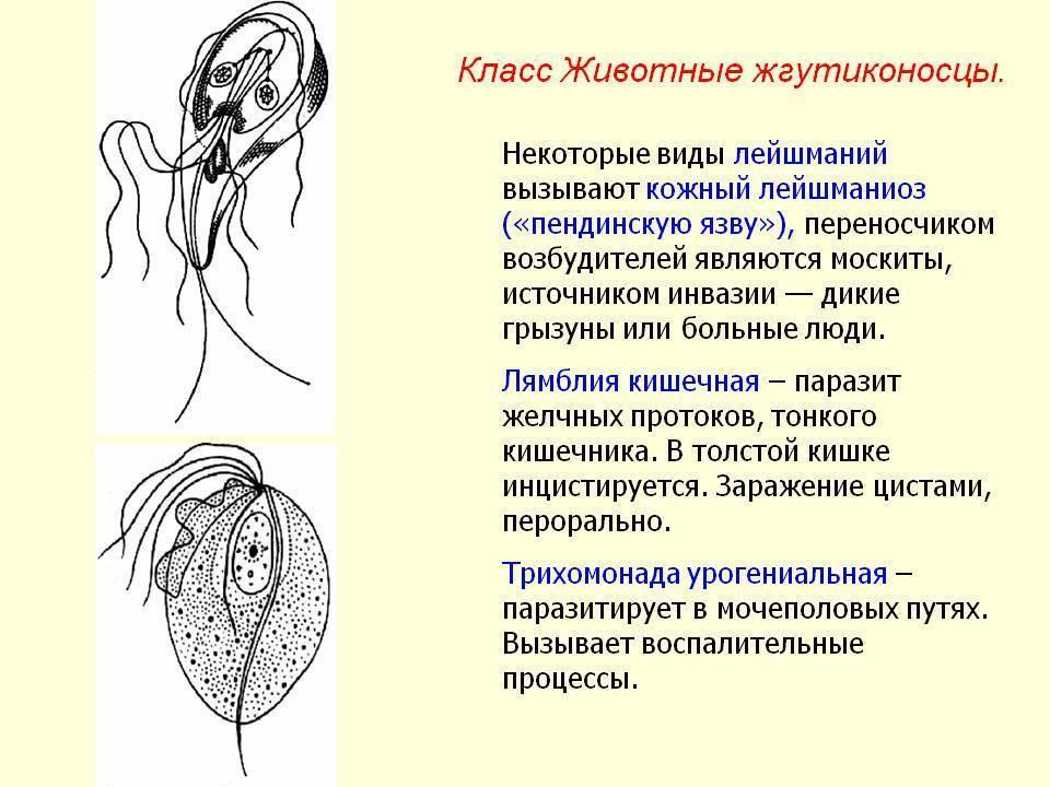 лямблиоз кишечника у взрослых