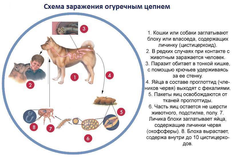 можно ли заразиться от собаки глистами