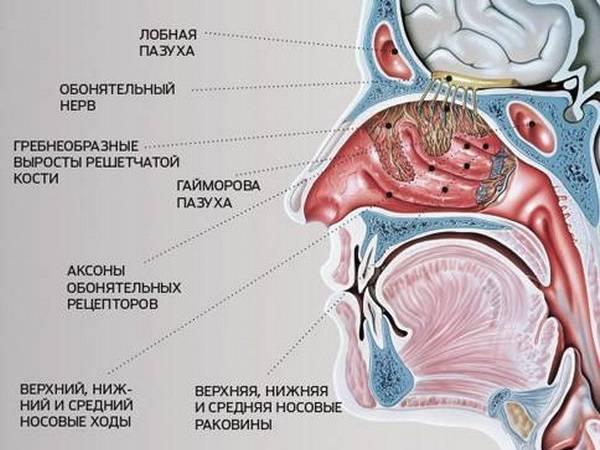 анатомия и физиология носа