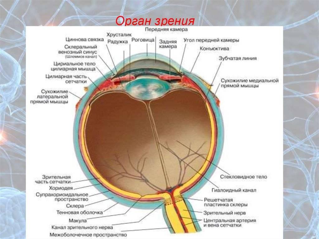 Каково внутреннее строение глаза человека