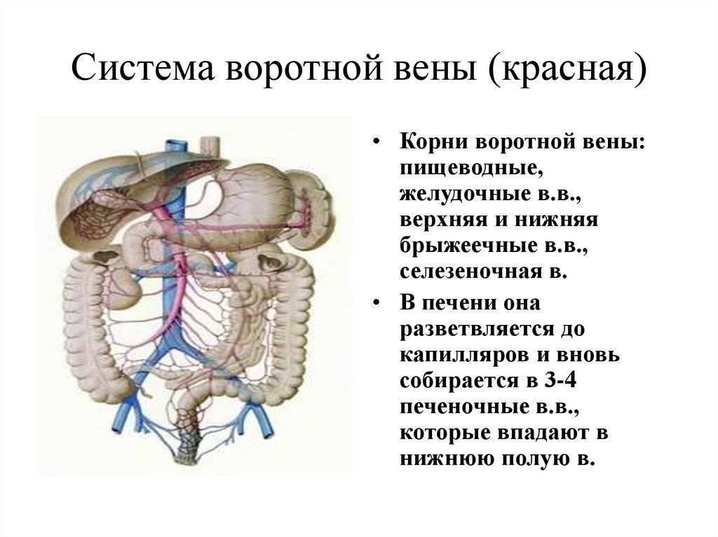 Анатомия: воротная вена, v. portae. вены образующие воротную вену