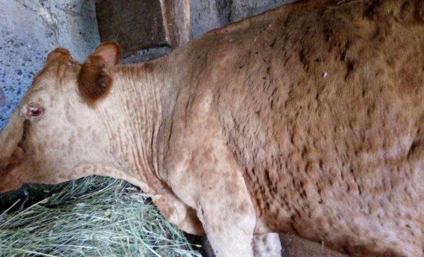 Нодулярный дерматит крупного рогатого скота лечение нитоксом