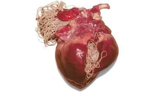 Глисты в сердце — parazit24