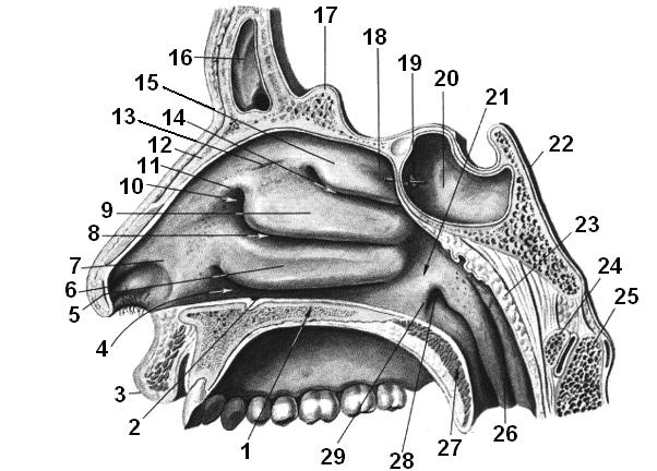 Пазухи носа. строение, анатомия в картинках. симптомы воспаления, отека придаточных, гайморовых