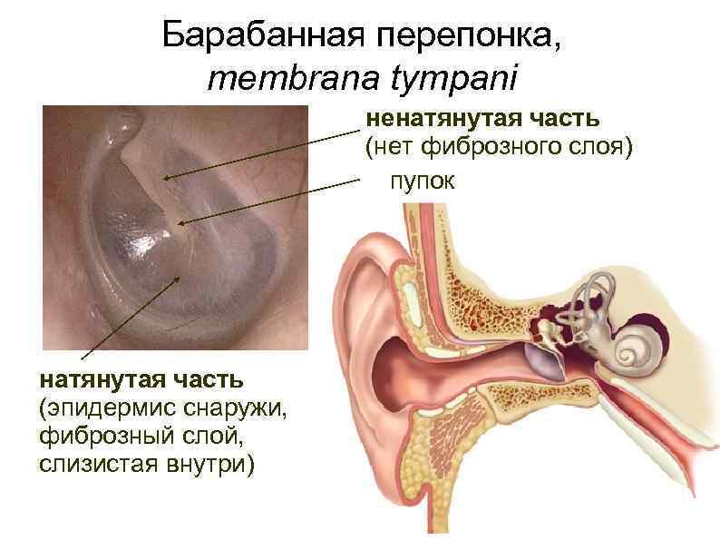 Ухо: наружное, среднее, внутреннее. слуховой путь.