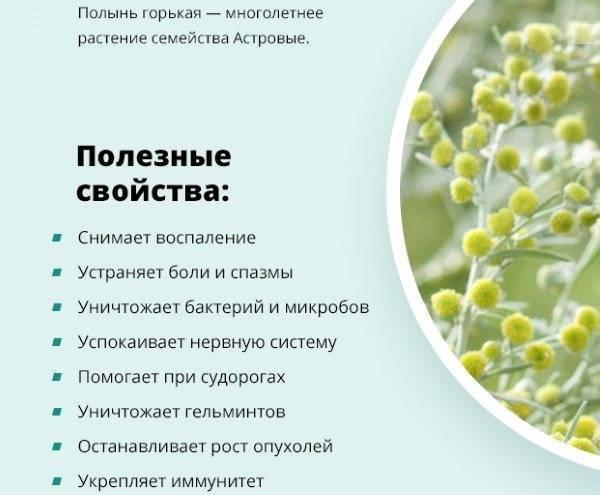 Полынь горькая: лечебные свойства, противопоказания и применение