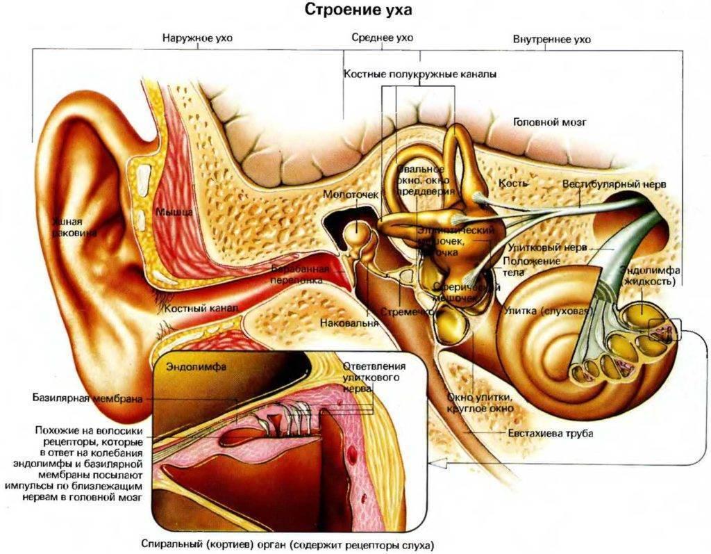 Ухо не только орган слуха. ухо – орган равновесия