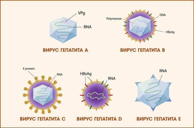 Можно ли заразиться гепатитом в через слюну или поцелуй?