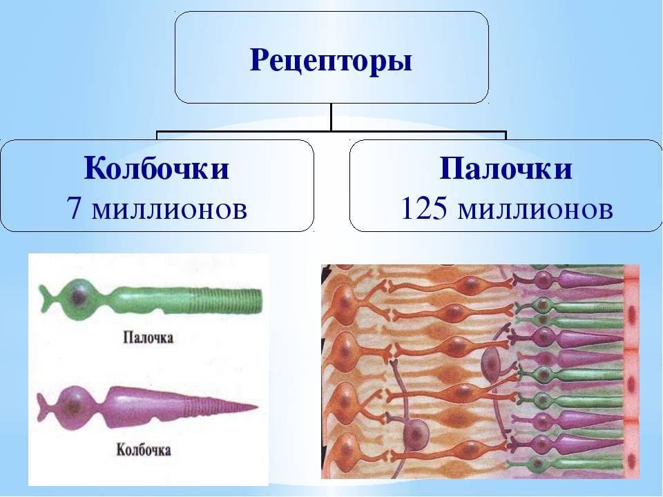 Фоторецептор