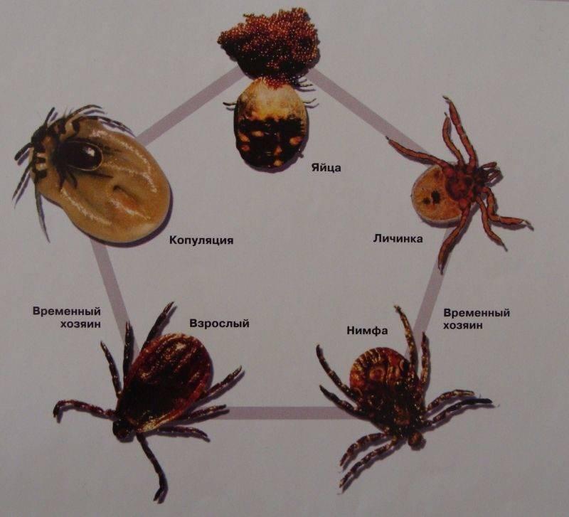 Бабезиоз у человека - причины, симптомы, лечение