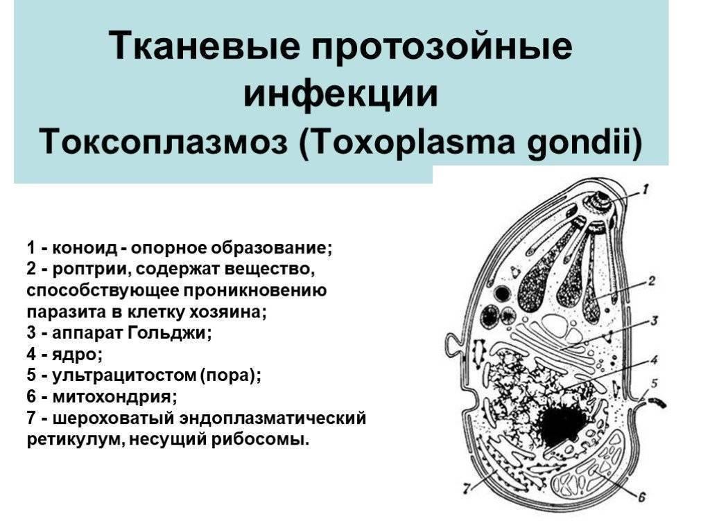 Профилактика протозойных инфекций. виды и лечение протозойных инфекций у человека