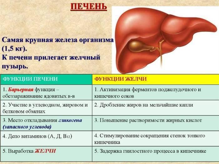 Функции желчного пузыря в организме человека