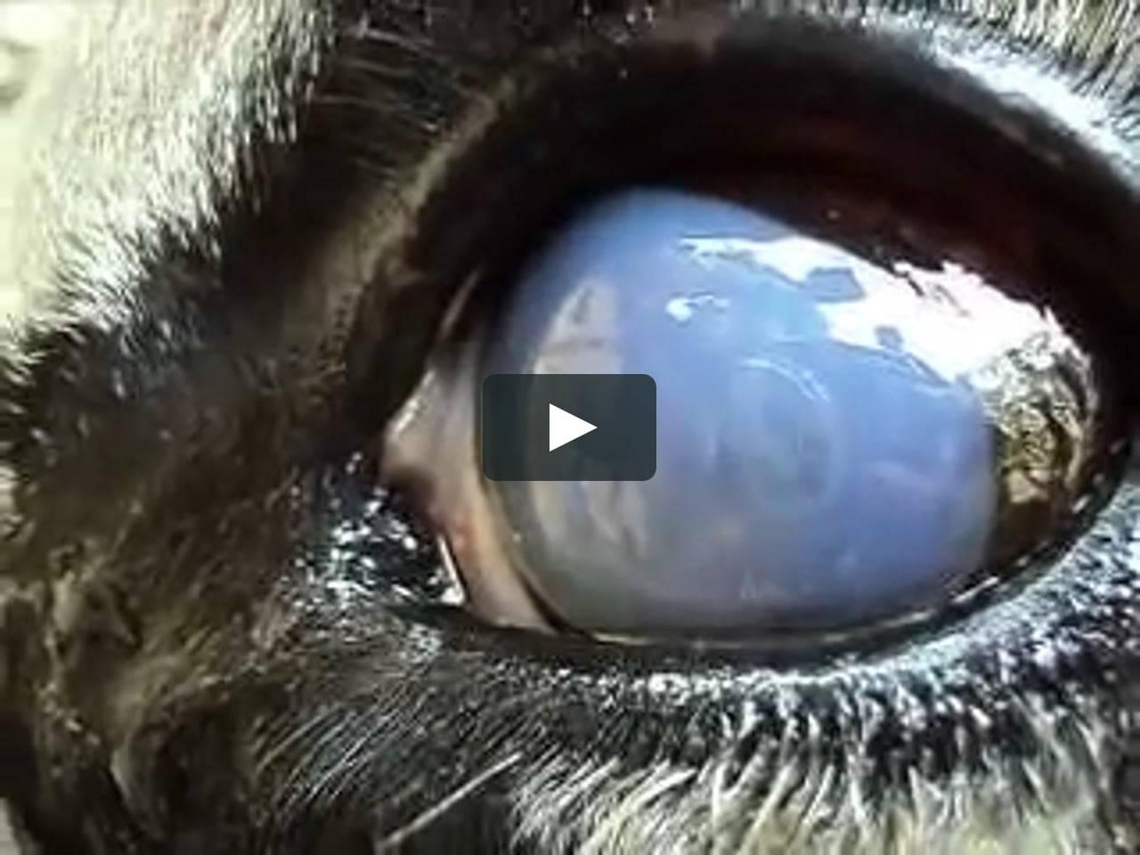 глазные паразиты