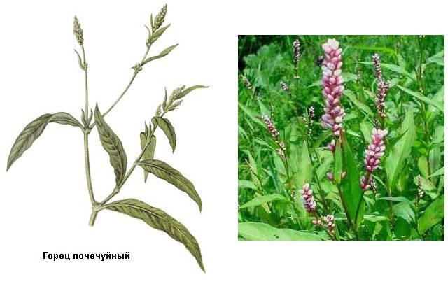 Какие травы при геморрое самые полезные?