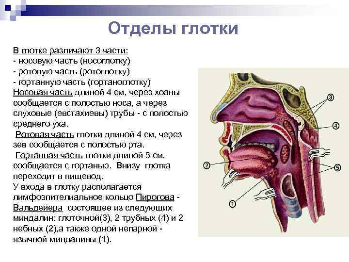 устройство носоглотки