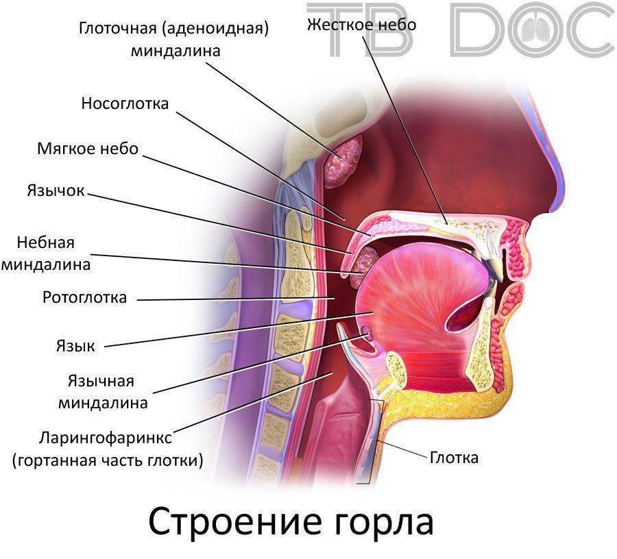 из чего состоит горло