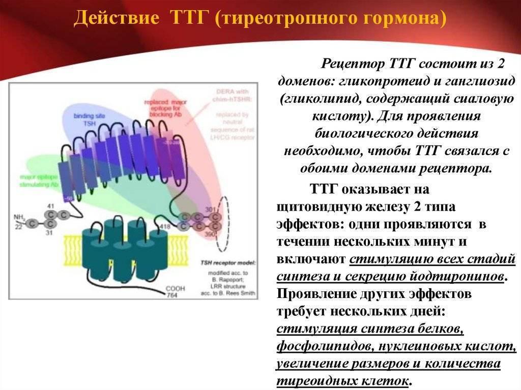 Анализ крови на ттг (тиреотропный гормон). признаки повышения и снижения гормона, норма по возрасту, методика определения. как подготовится к тесту?