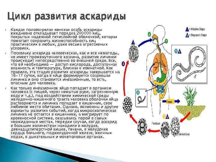 Аскариды: симптомы, анализы и лечение у взрослых и детей