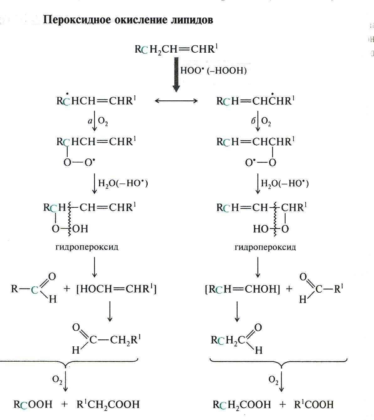 - окисление жирных кислот - биохимия