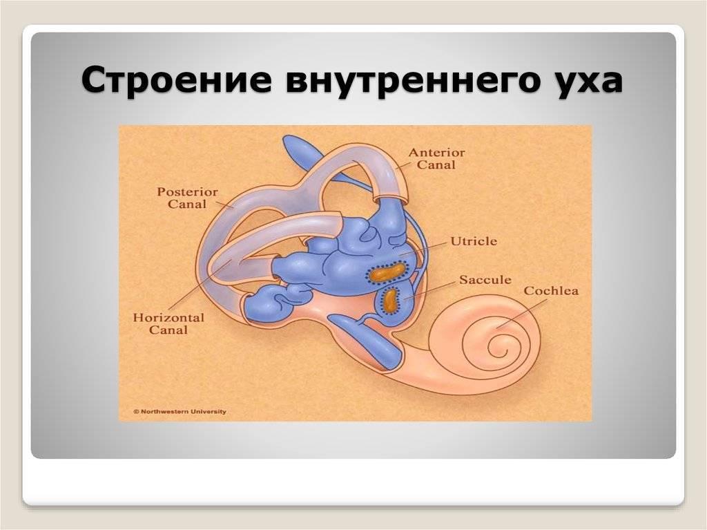 Строение внутреннего уха человека: каковы функции, особенности улитки и схема, фото с описанием