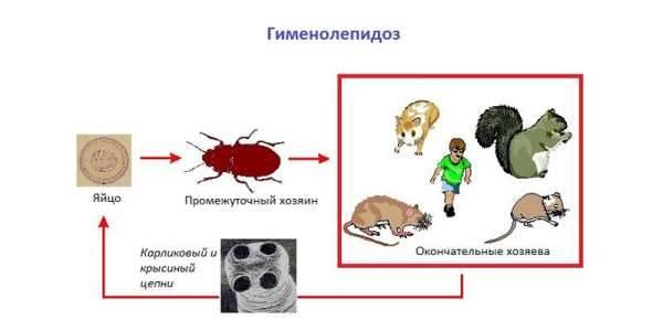 Карликовый цепень и гименолепидоз: что это такое, симптомы, лечение, как правильно сдать анализ