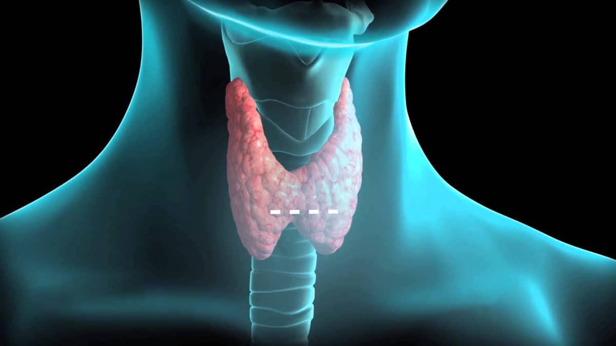 где расположена щитовидка