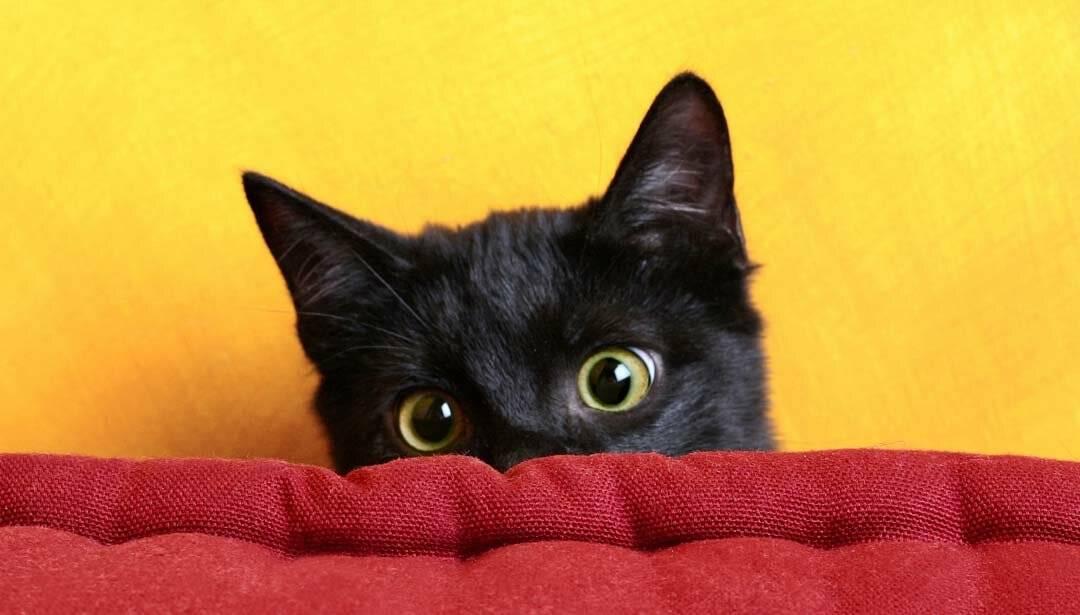 Айлурофобия: способы преодоления боязни кошек