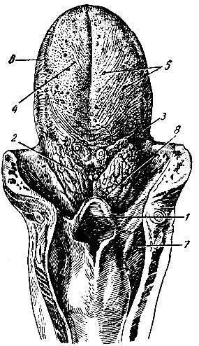 Анатомия человека: хрящи гортани. связки гортани. соединения гортани. суставы гортани