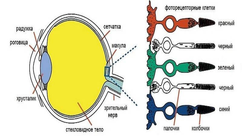 колбочки в глазу