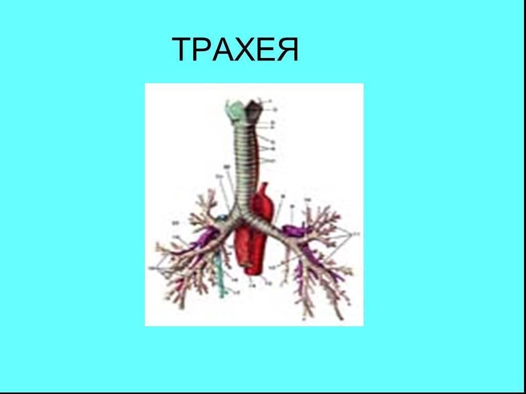 функции трахеи в дыхательной системе