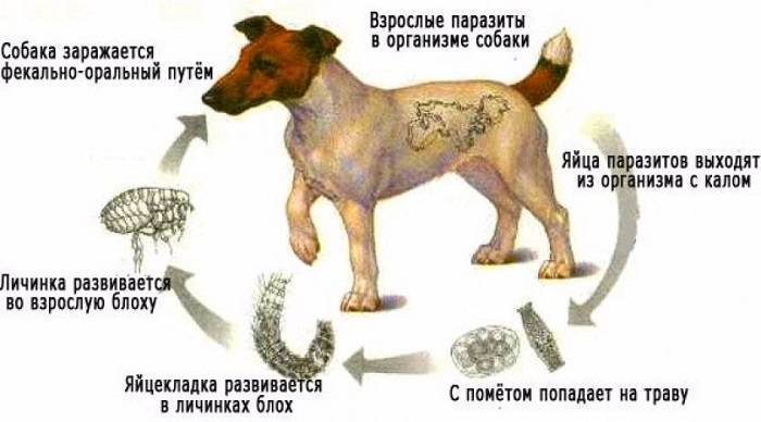 может ли собака заразить человека глистами