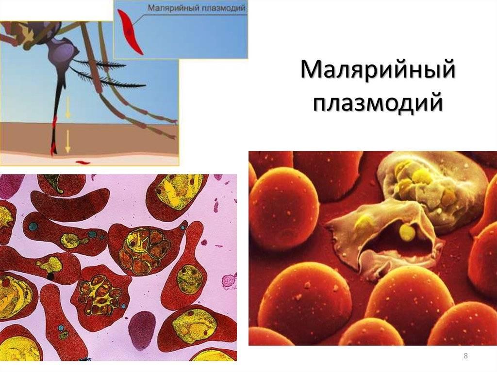 Малярийный плазмодий - plasmodium falciparum - qwe.wiki