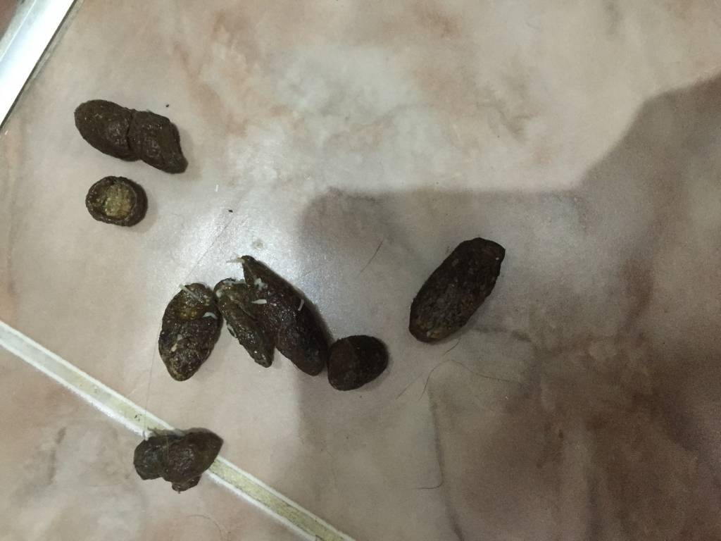 яйца глистов в кале