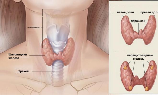 есть ли у мужчин щитовидная железа