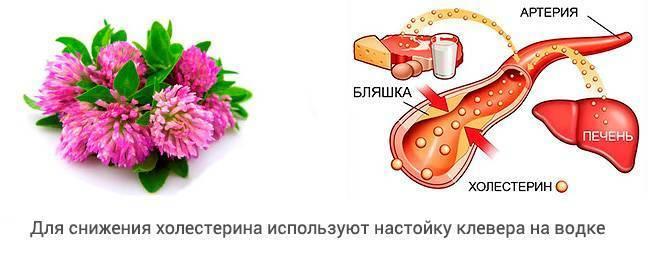 клевер на водке от холестерина