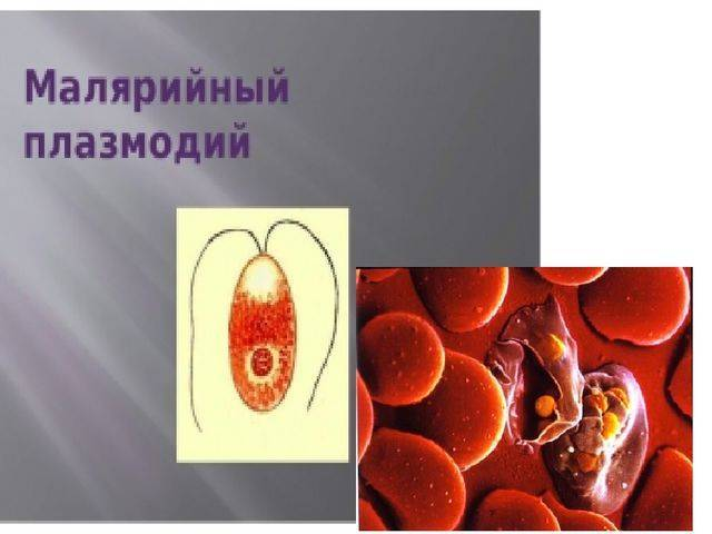 малярийный плазмодий размеры