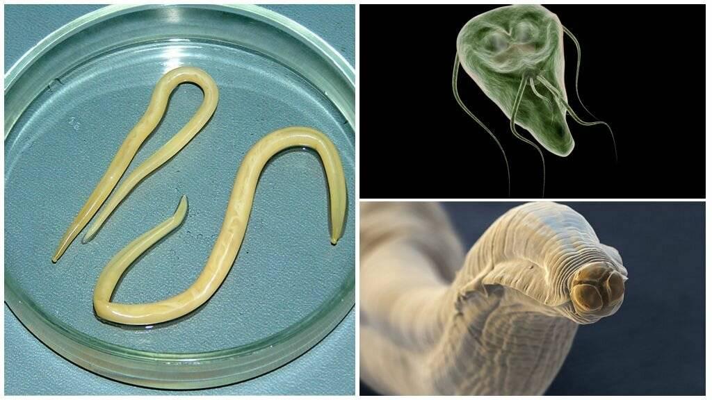 Паразиты человека: симптомы и виды заболеваний - паразиты