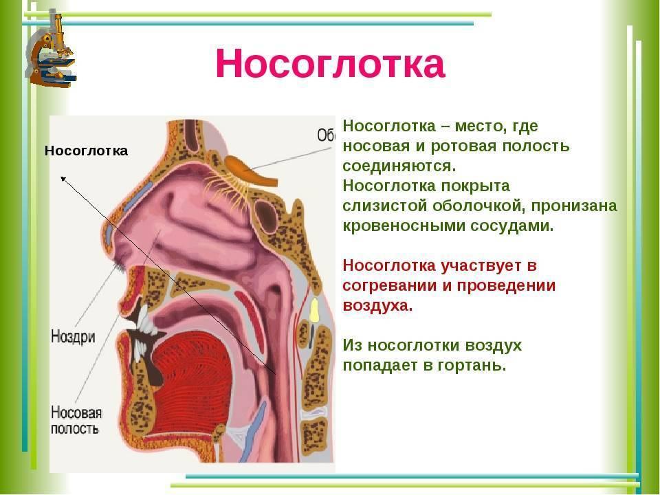 Нос. анатомия и физиология лор-органов