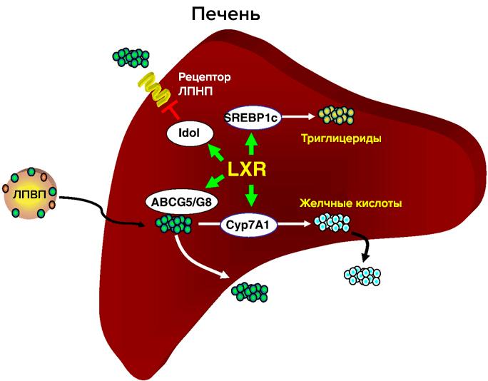 как вырабатывается холестерин в организме