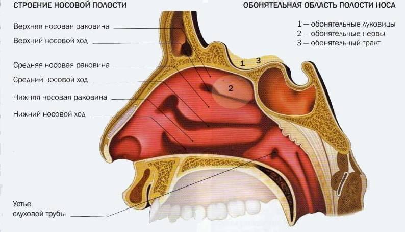 полость носа анатомия
