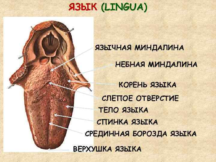 Подъязычная миндалина