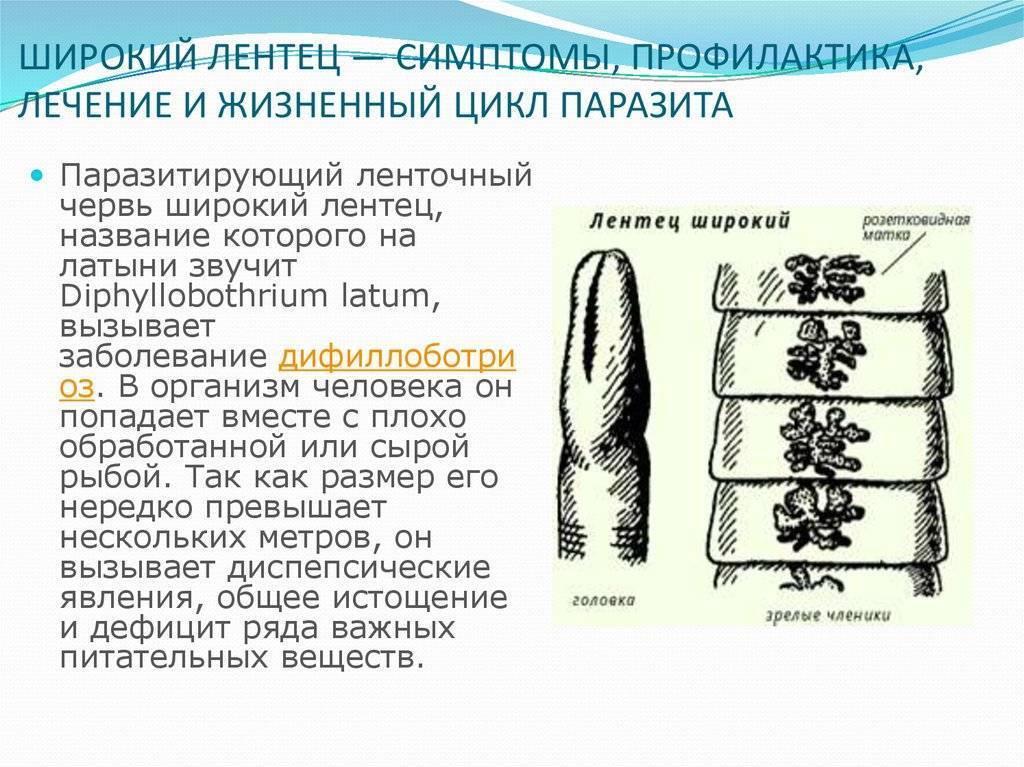 Ленточные черви — википедия с видео // wiki 2