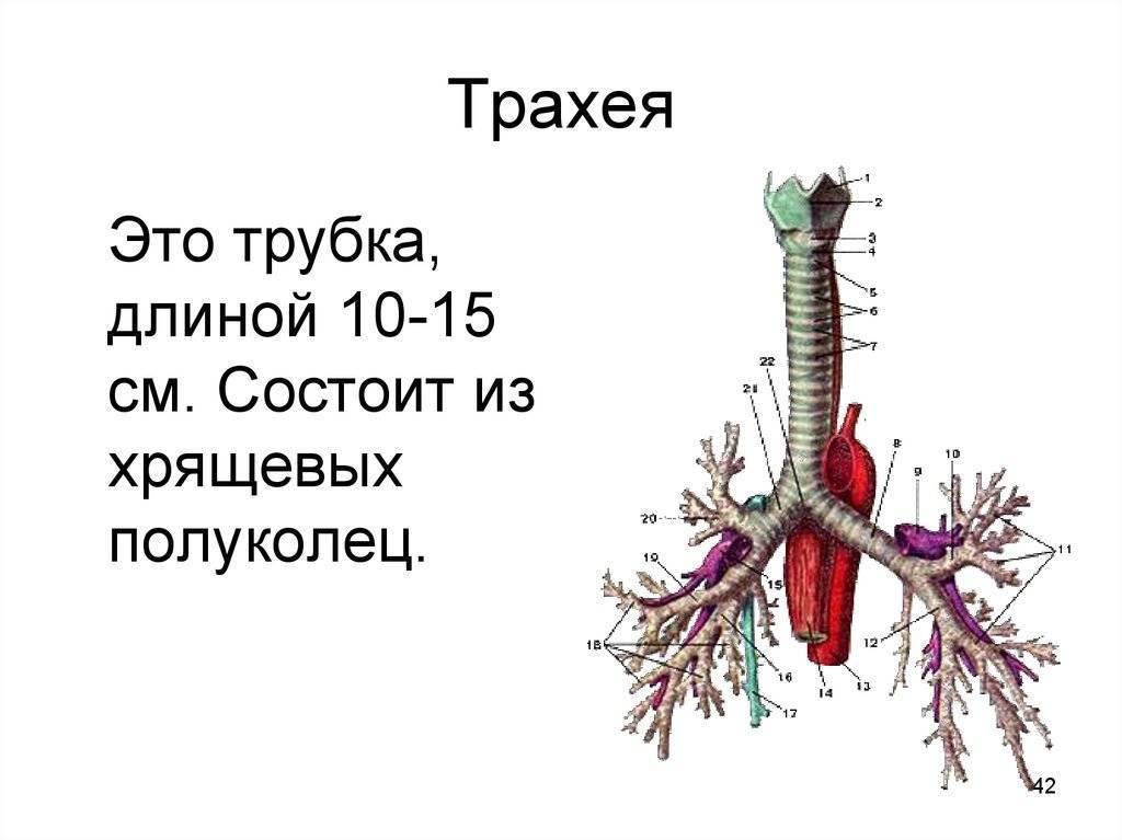 трахея анатомия