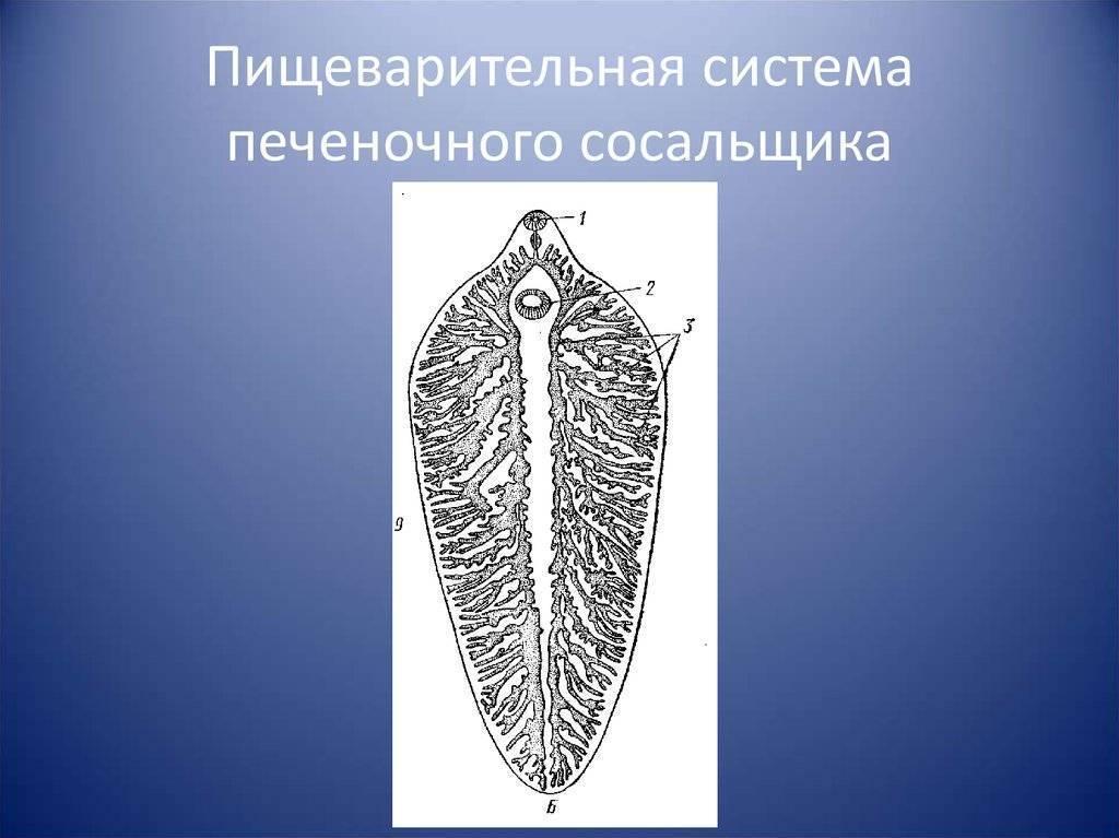 Класс сосальщики (trematoda) - тип плоские черви (plathelminthes) - общая и медицинская гельминтология - биоценотический уровень организации живого - учебник биология - чебышев н. в. - вунмц 2000