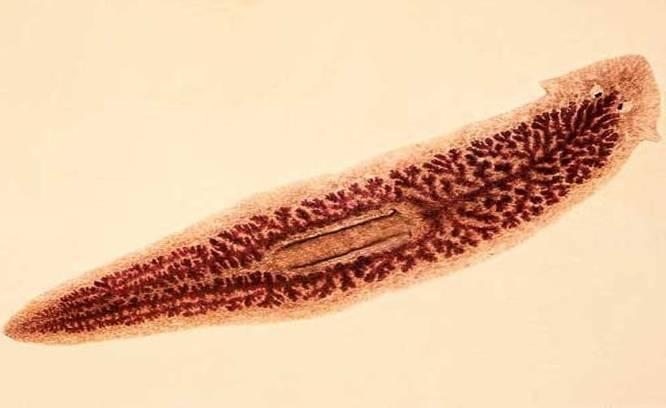 Ланцетовидный сосальщик. особенности цикла развития. распространение, диагностика и профилактика дикроцелиоза
