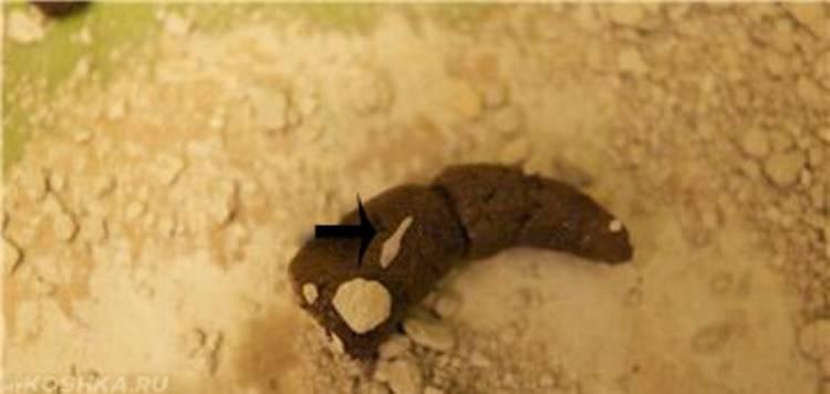 Глисты у человека - какие виды существуют, как они выглядят (фото), пути заражения, симптомы и признаки у детей и взрослых, диагностика (анализ кала на яйца глист). ответы на часто задаваемые вопросы
