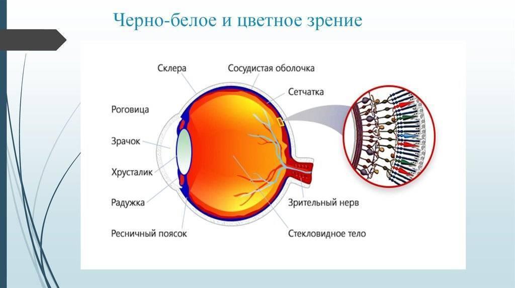 Колбочки сетчатки глаза и цветное зрение