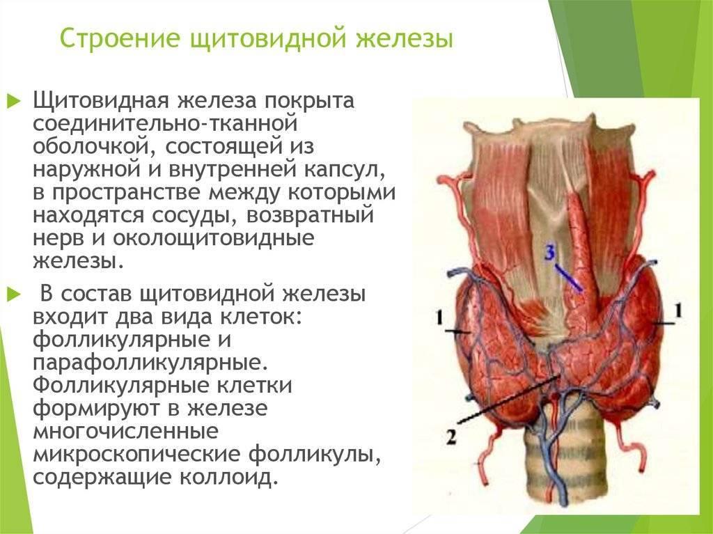 щитовидная железа состоит
