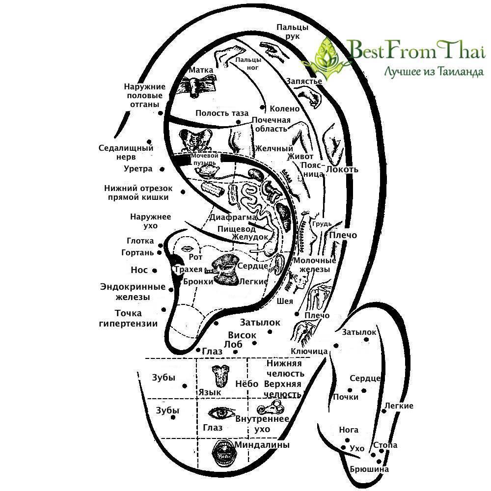 Точки на ухе отвечающие за органы. массаж ушей. активные точки на ухе биологически.